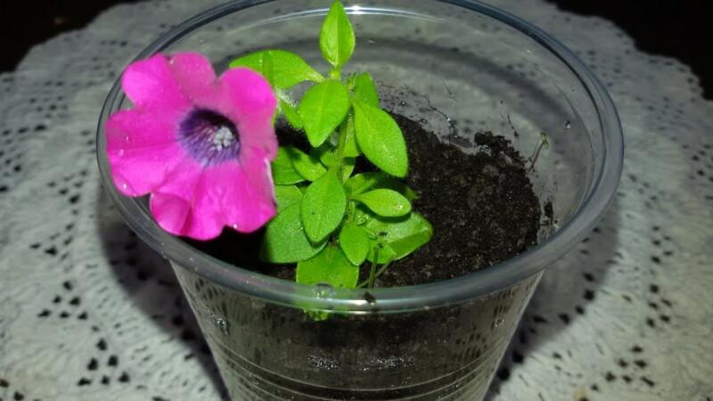 Как из одного куста петунии получить 10! Секреты черенкования растения