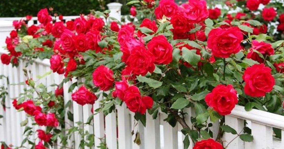 Как укрывать плетистую розу на зиму и когда