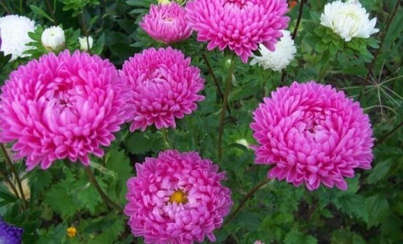 Посадка цветов осенью — какие цветы можно сеять под зиму
