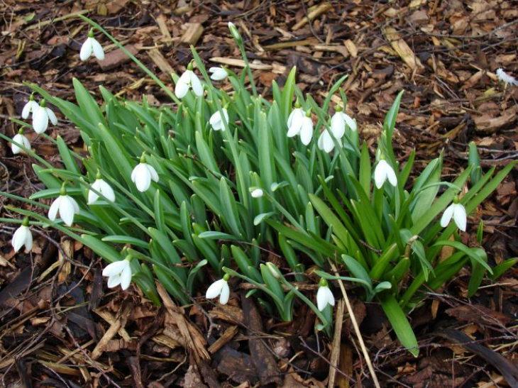 Многолетние цветы: подснежники
