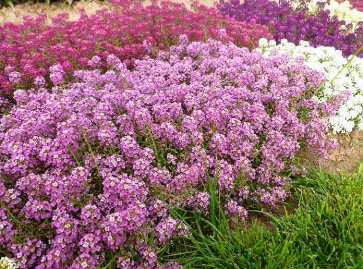 многолетние цветы-адонис