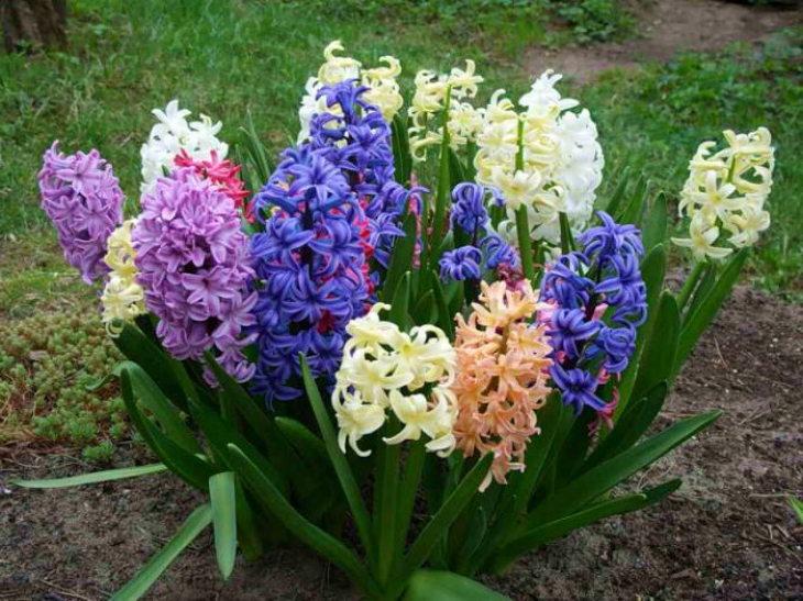многолетние цветы-гиацинт