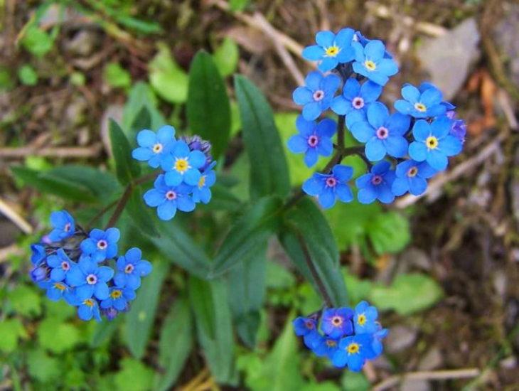 многолетние цветы-незабудка