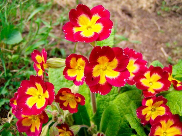 многолетние цветы-примула