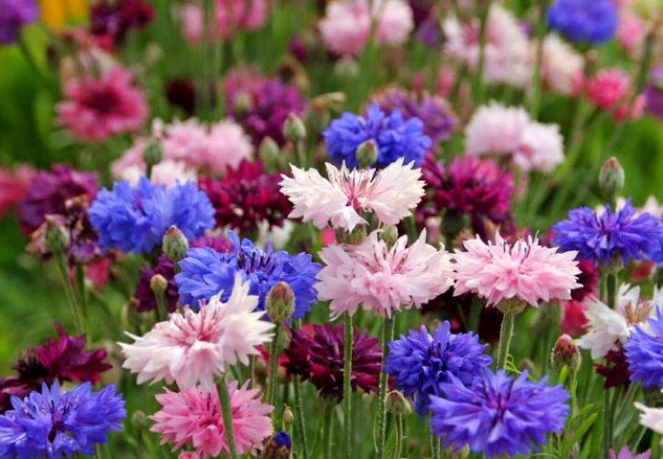 многолетние цветы-василек