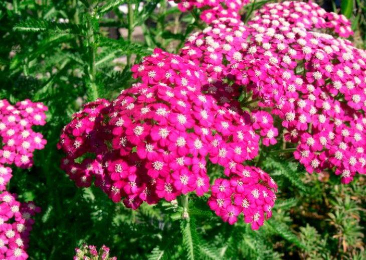 многолетние цветы-Тысячелистник