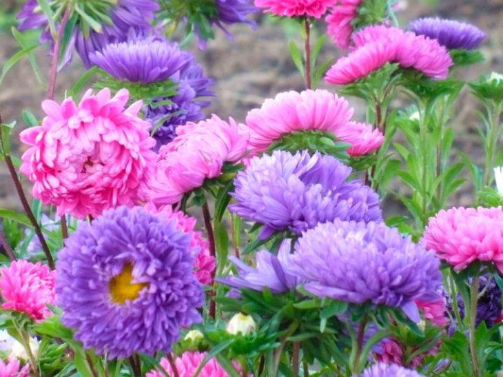 многолетние цветы-астра