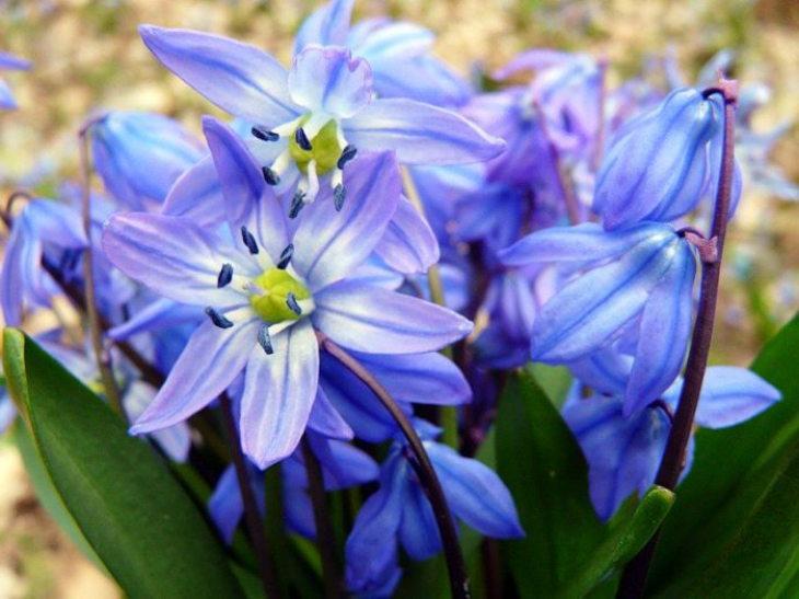 многолетние цветы-пролеска