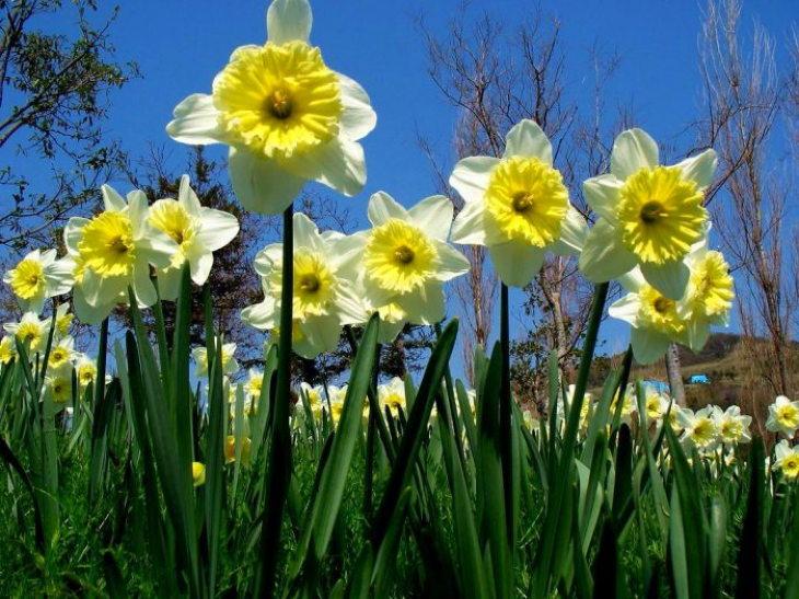 многолетние цветы-нарциссы